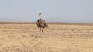 Struds - Ngorongoro